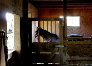 Amish horse in the barn