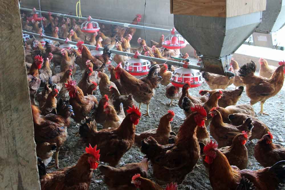 Poultry Farm Bed & Breakfast